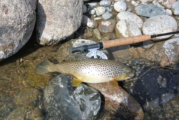 The first trout of the day and my first in Colorado.  The tenatious Brown leaped out of the water to take a dark bodied Elk Hair Caddis I had bought that morning at Royal Gorge Anglers.