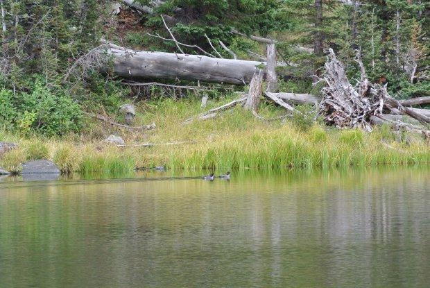 Ducks on Mud Lake